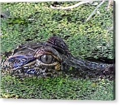 Alligator 027 Acrylic Print
