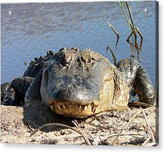 Alligator Approach Acrylic Print by Al Powell Photography USA