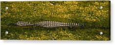 Alligator Flowing In A Canal, Big Acrylic Print by Panoramic Images