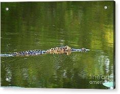 Alligator In Lake Martin Acrylic Print by Kelly Morvant