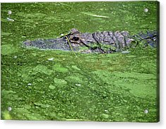 Alligator In Swamp Acrylic Print by Aimee L Maher Photography and Art Visit ALMGallerydotcom