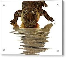 Alligator Making Eye Contact With You Acrylic Print