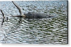 Acrylic Print featuring the photograph Alligator Resting On A Log by Ron Davidson