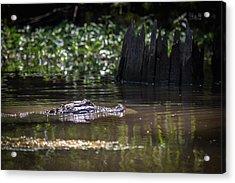Alligator Swimming In Bayou 2 Acrylic Print