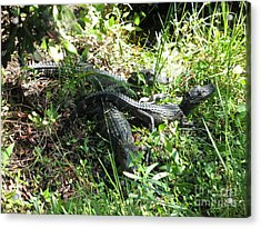 Alligatorbabys Waiting For Mommy Acrylic Print by Christiane Schulze Art And Photography