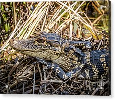Alligator's Baby Acrylic Print