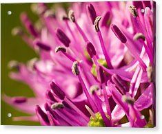 Allium 1 Acrylic Print by Carl Engman