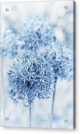 Allium Acrylic Print by Frank Tschakert