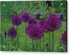Acrylic Print featuring the photograph Allium Giganteum by Ken Dietz