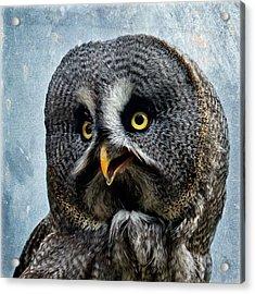 Allocco Della Lapponia - Tawny Owl Of Lapland Acrylic Print