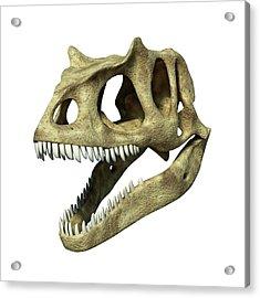 Allosaurus Dinosaur Skull Acrylic Print by Leonello Calvetti/science Photo Library