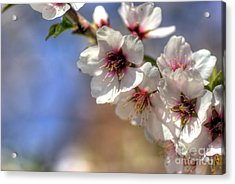 Acrylic Print featuring the photograph Almond Blossoms by Jim and Emily Bush
