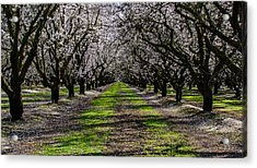 Almond Grove Acrylic Print