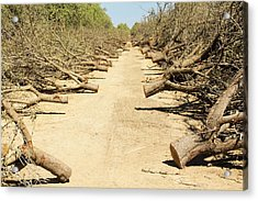 Almond Groves Being Chopped Down Acrylic Print