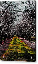 Almond Trees In Bloom Acrylic Print