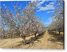Almond Trees Acrylic Print