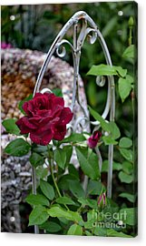 Almost A Perfect Rose Acrylic Print