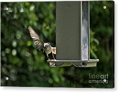 Acrylic Print featuring the photograph Almost A Ruff Bird Landing by Thomas Woolworth