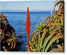 Aloe Arborescens Flowering At Pacific Grove Acrylic Print by Susan Wiedmann