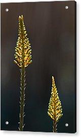 Aloe Plant Acrylic Print