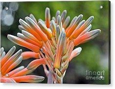Aloe Vera Flower Acrylic Print