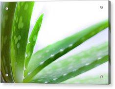 Aloe Vera Plant Acrylic Print