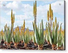 Aloe Vera Plantation Acrylic Print