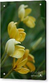 Aloha He Pua Lahaole Kula Gardenia Grandiflora Acrylic Print by Sharon Mau