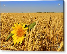Alone Sunflower Sunflower In Wheat Acrylic Print by Boon Mee