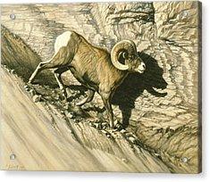 Along The Wall-bighorn Ram Acrylic Print