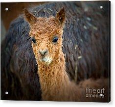 Alpaca Cria  Acrylic Print