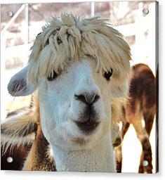 Alpaca Hair Do Acrylic Print