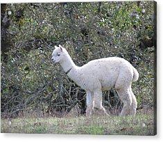 Alpaca Stroll Acrylic Print