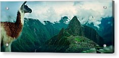 Alpaca Vicugna Pacos On A Mountain Acrylic Print by Panoramic Images