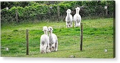 Alpacas In Ireland Acrylic Print