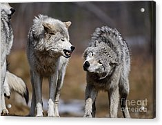 Acrylic Print featuring the photograph Alpha Displeasure by Wolves Only