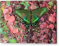 Alpine Black Swallowtail Butterfly Acrylic Print by Darrell Gulin