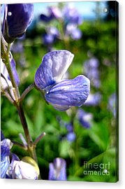 Acrylic Print featuring the photograph Alpine Lupine by Kathy Bassett