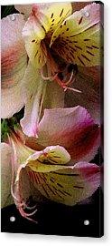 Alstroemeria IIi Acrylic Print