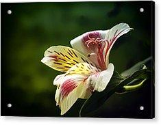 Alstroemeria One Acrylic Print
