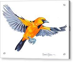 Da200 Altimira Oriole By Daniel Adams  Acrylic Print