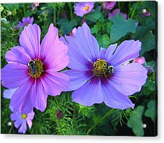 Always Loved Cosmos Acrylic Print by Shirley Sirois
