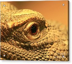 Always Watch Your Back - Benti Uromastyx Lizard Acrylic Print by Inspired Nature Photography Fine Art Photography