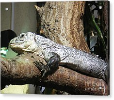 Am A Reptile. Acrylic Print by Ann Fellows