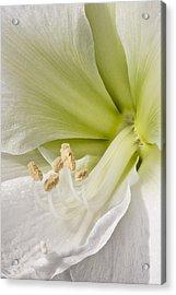 Amaryllis Acrylic Print by Adam Romanowicz