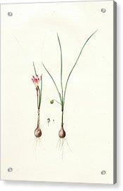 Amaryllis Atamasco Var. Minor Acrylic Print by Artokoloro