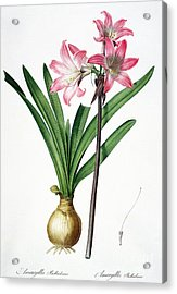 Amaryllis Belladonna From Les Liliacees Engraved By De Gouy Acrylic Print by Pierre Joseph Redoute