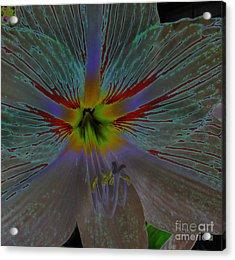 Amaryllis Colors Acrylic Print by D Hackett
