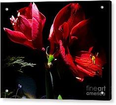 Amaryllis Duet Acrylic Print