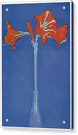 Amaryllis In A Flask In Front Of A Blue Background Acrylic Print